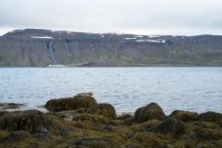 Una foca lungo la costa di Strandir, con Djúpavík sullo sfondo